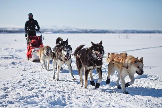 Dogsled Race in Alaska, Alaska campervan hire