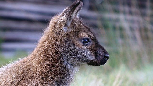 Wallaby; Tasmania cruises